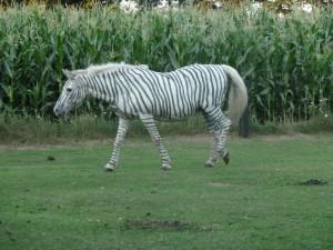 zebra, bastelideen, schulanfang conny, vechteerlebniss 004
